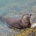 Otter Breakfast