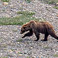 Grizzly on the Move