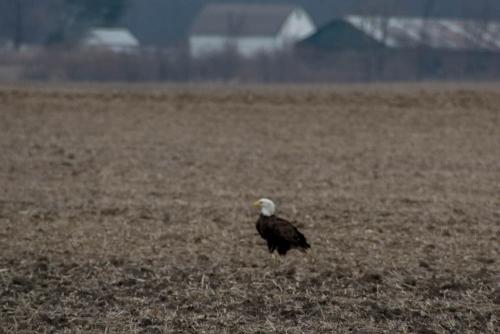 Eagle-8