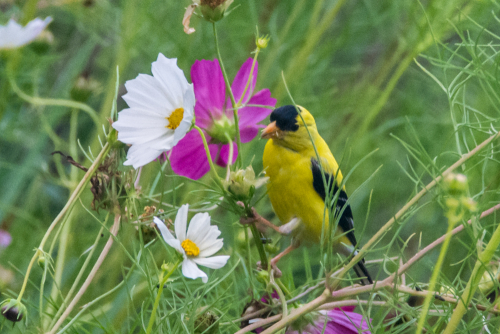 Goldfinch-1