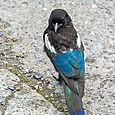 Grumpy Magpie