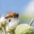 Honeybees in Pears