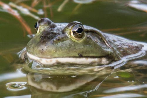 Bullfrog-3