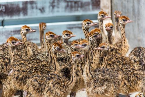 Ostrich-11