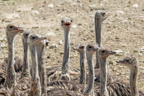 Ostrich-17