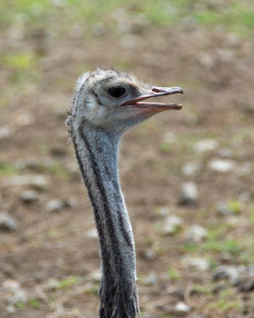 Ostrich-32