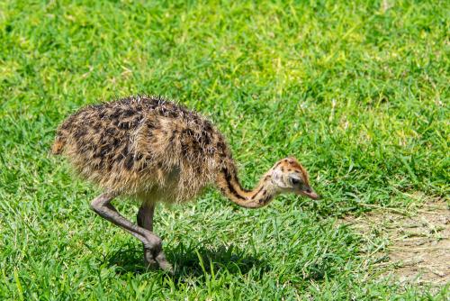 Ostrich-50