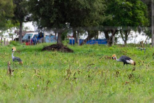 Ostrich-30