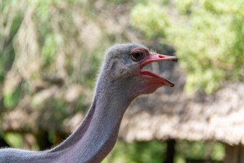 Ostrich-41