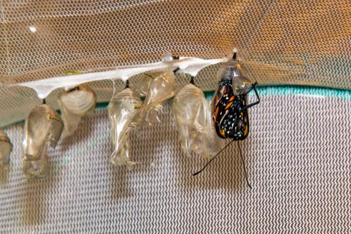 Monarchs-2