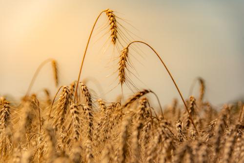 Wheat-3