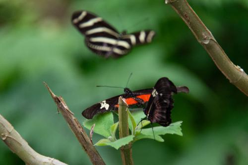Butterfly-33
