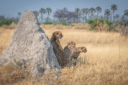 Cheetah-63