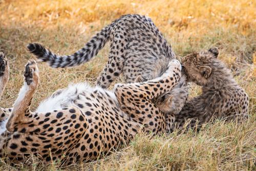Cheetah-22