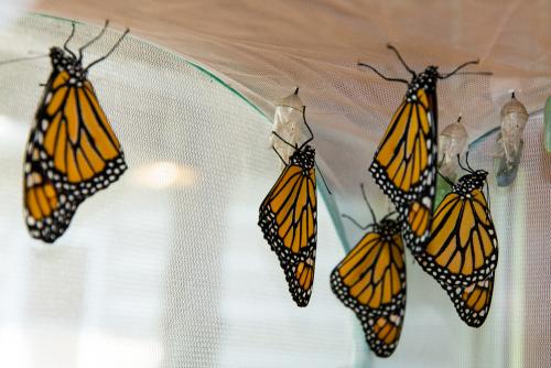 Monarchs-10