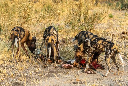 Dogsscavengers-4