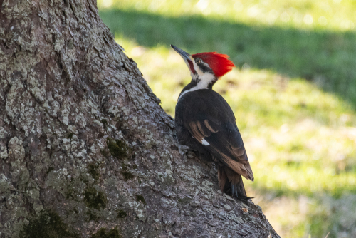 Pileated-5