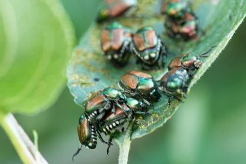 Beetles-3