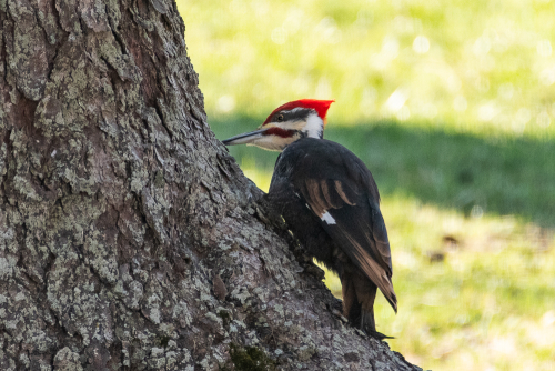 Pileated-7