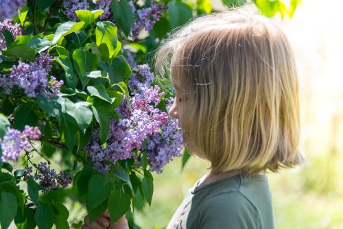 Lilacs-1