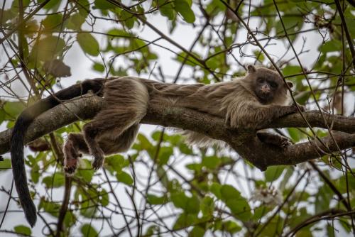 Capuchin-21