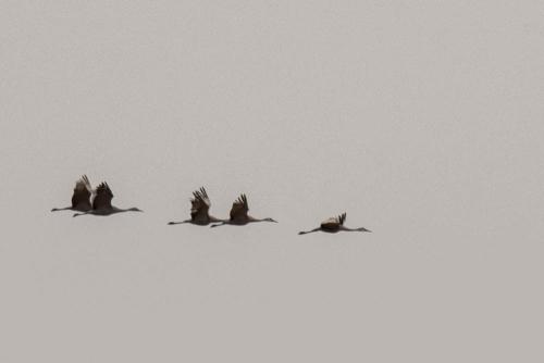Cranes-5