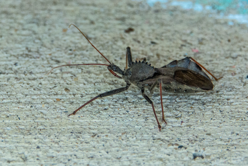 Assassin bug-1