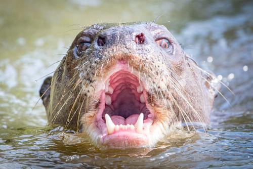 Otter-17