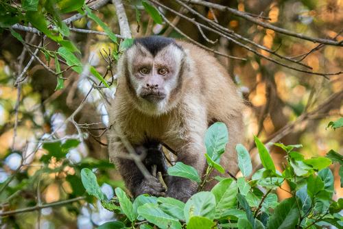Capuchin-19
