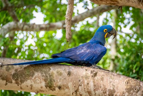 Macaw-19