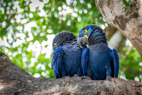 Macaw-17