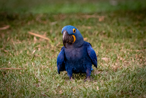 Macaw-4