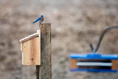 Bluebirds-7