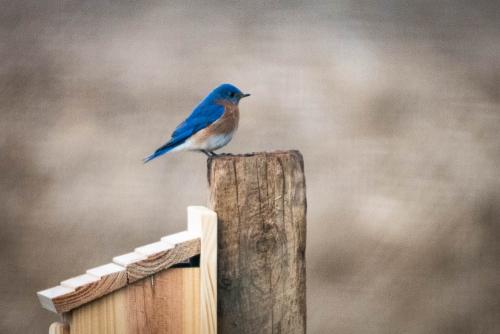 Bluebirds-5