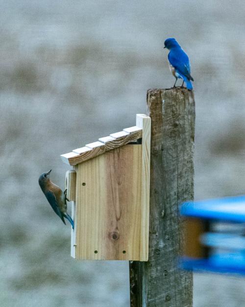 Bluebirdsback-7