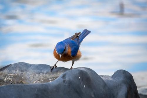 Bluebird-28