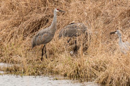 Cranes-29