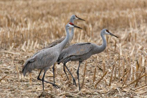 Cranes-35