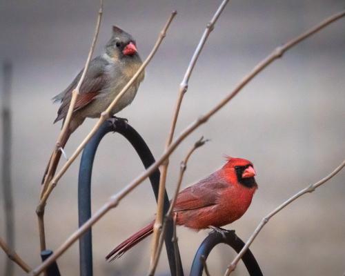 Cardinals-1