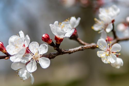 Apricot-1