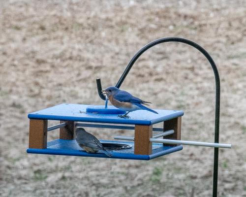 Bluebird-17