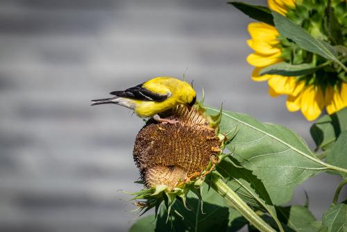 Goldfinch-2