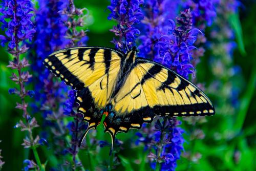 Tigerswallowtail-1