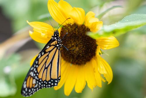 Monarch-5