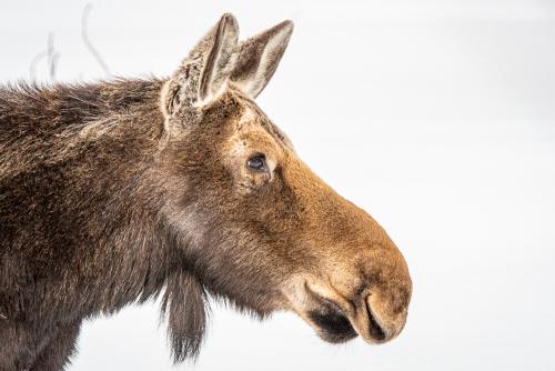 Moose-46