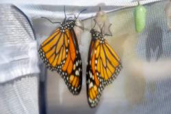 Monarch-20