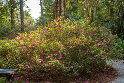 Magnolia-52