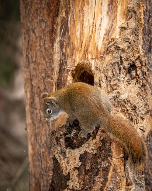 Danhartmans red squirrel-2