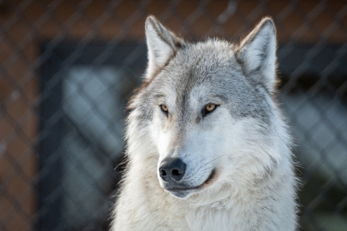 Grizzlywolfdiscoveryctr-32