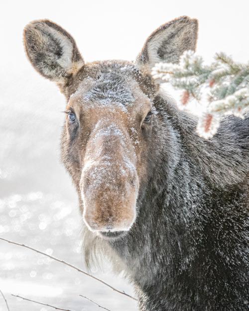 Moose-31